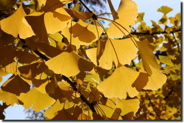 Ginkgos